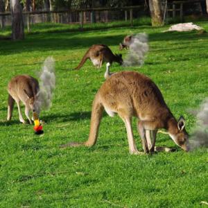 Страна кенгуру и марихуана